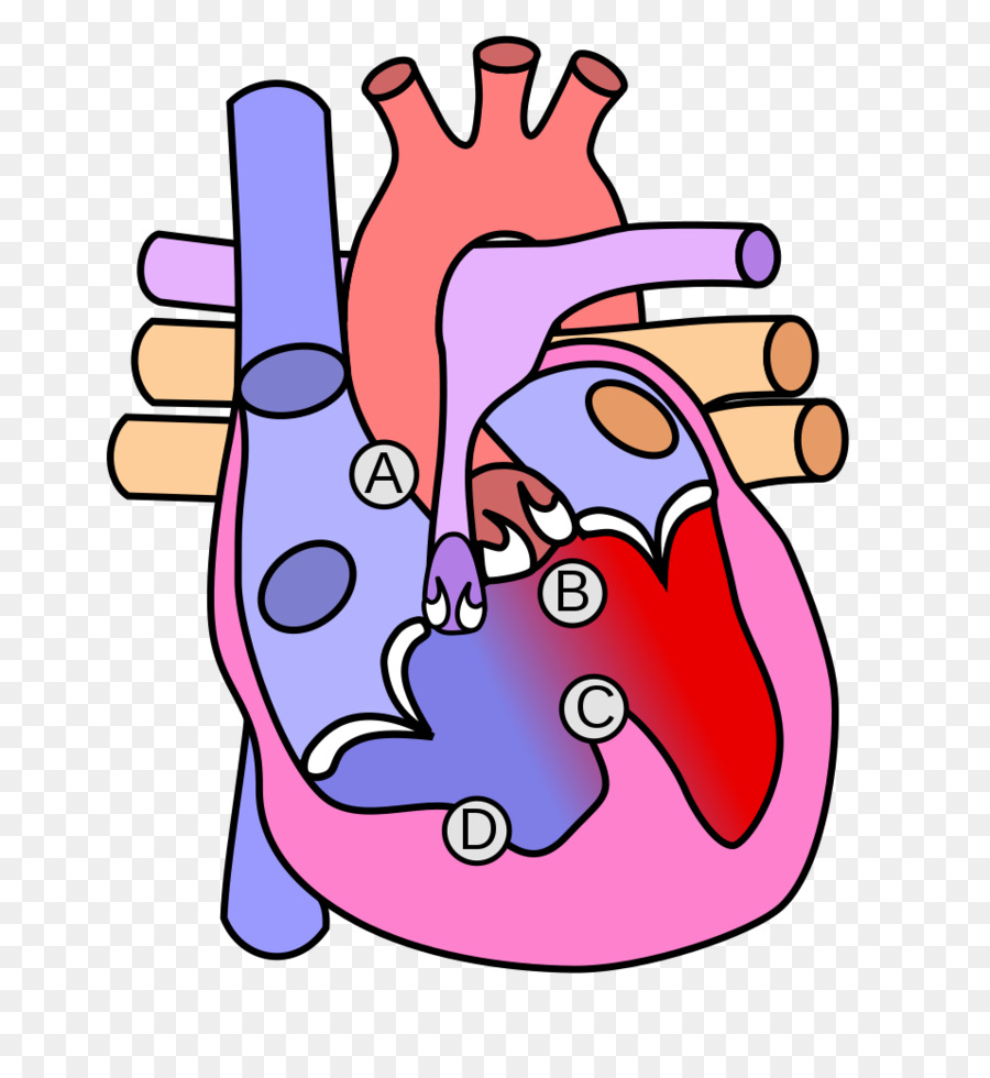 Congenital heart defect Aortic valve Diagram Anatomy - heart png ...