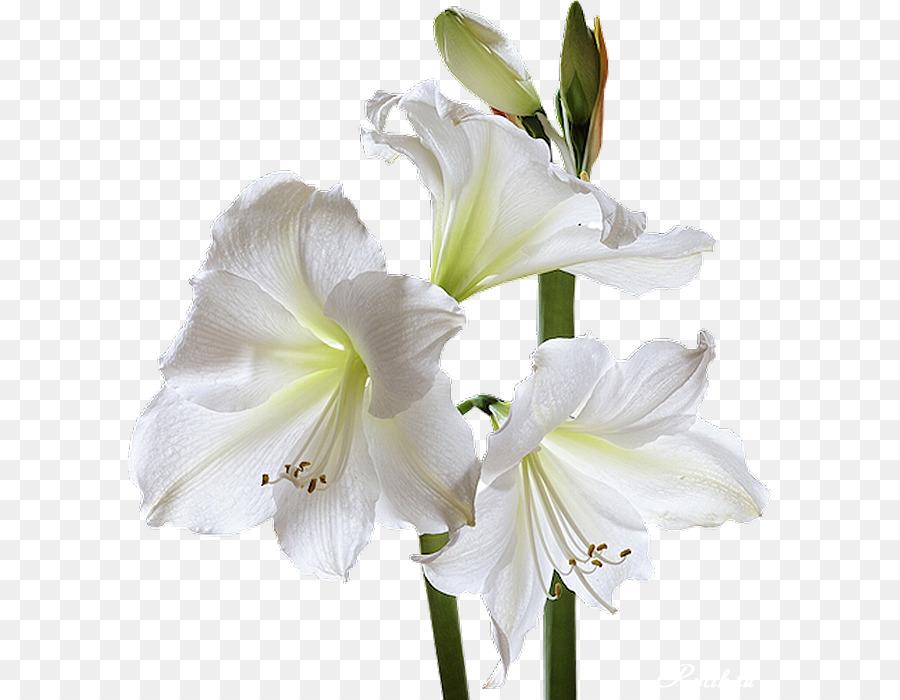 Condolences god sympathy grief death white lily png download 645 condolences god sympathy grief death white lily mightylinksfo