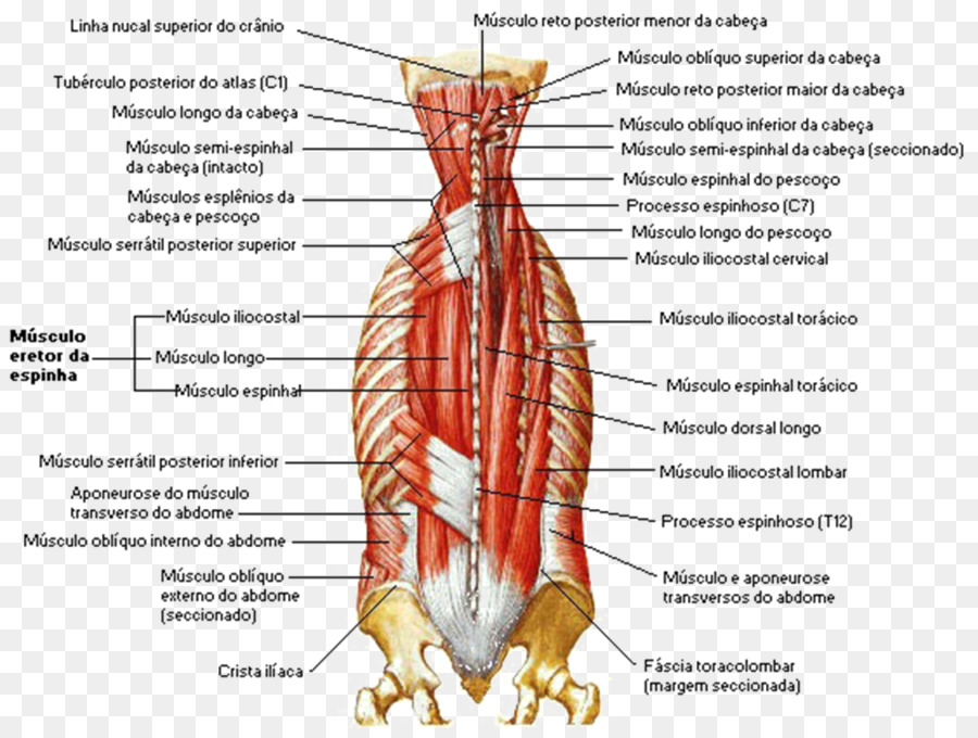 Las vértebras lumbares Erector espinal a los músculos de la columna ...
