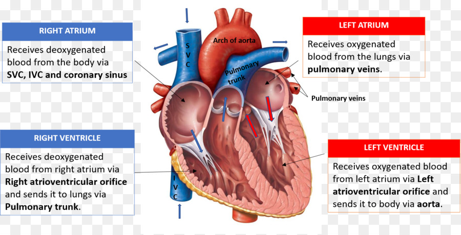 Heart Valve Diagram Anatomy Heart Chamber Heart Png Download