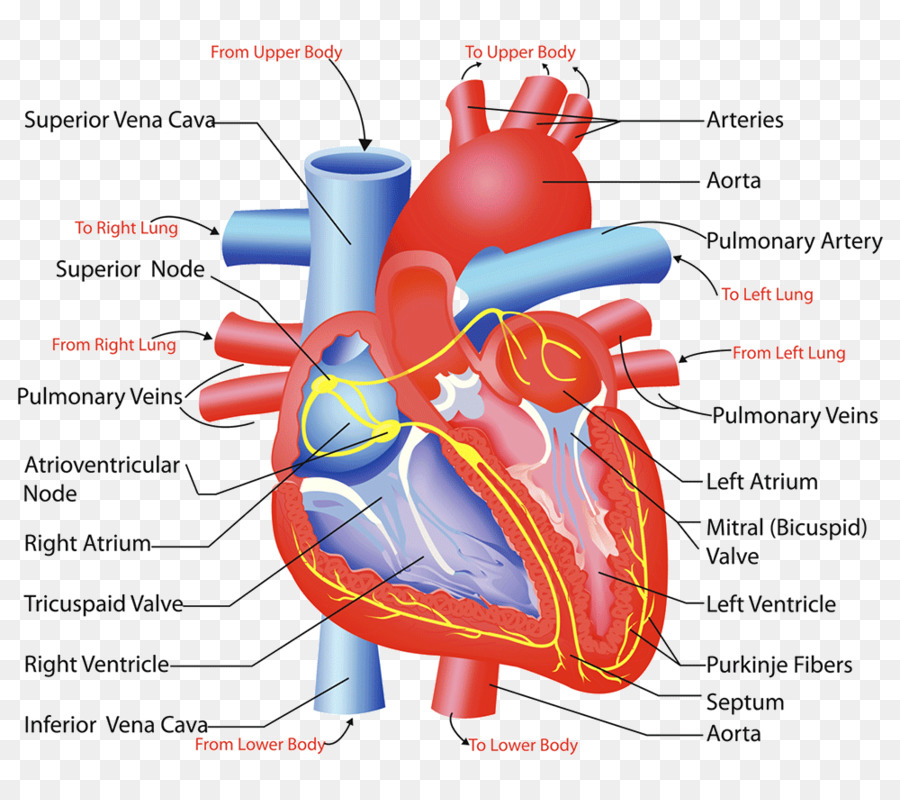 Heart Valve Circulatory System Anatomy Human Body Heart Png