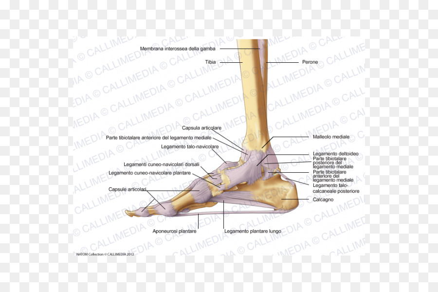 Foot Joint capsule Deltoid ligament - capsula png download - 600*600 ...