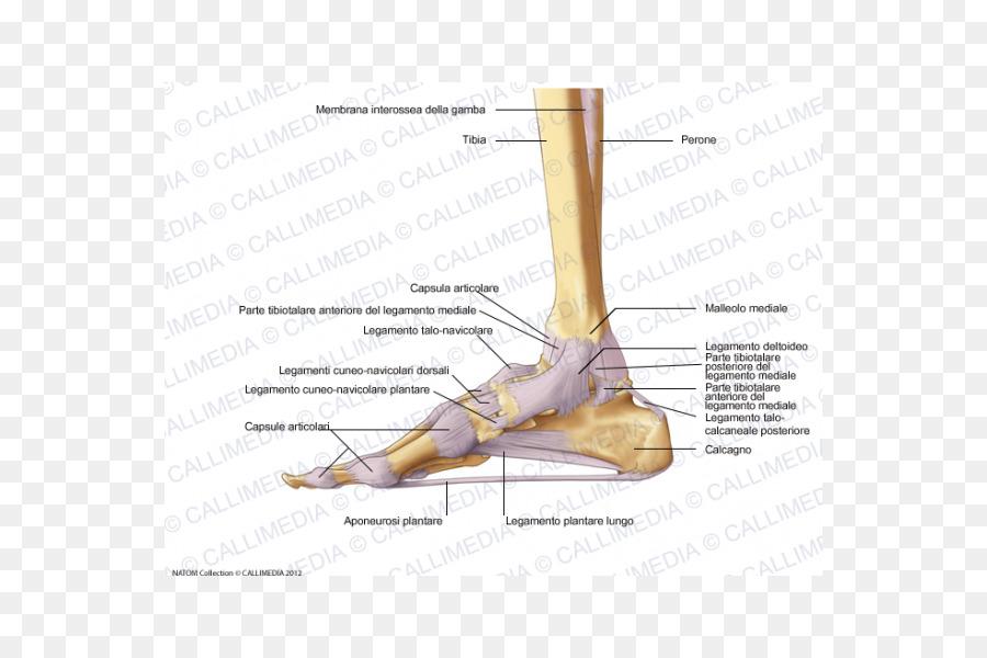 Pie cápsula de la Articulación, ligamento Deltoideo - capsula ...