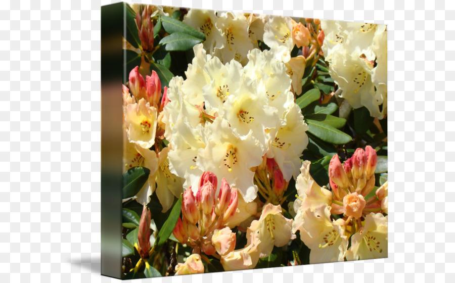 Rhododendron Yellow Cream Pink Orange Orange Png Download 650