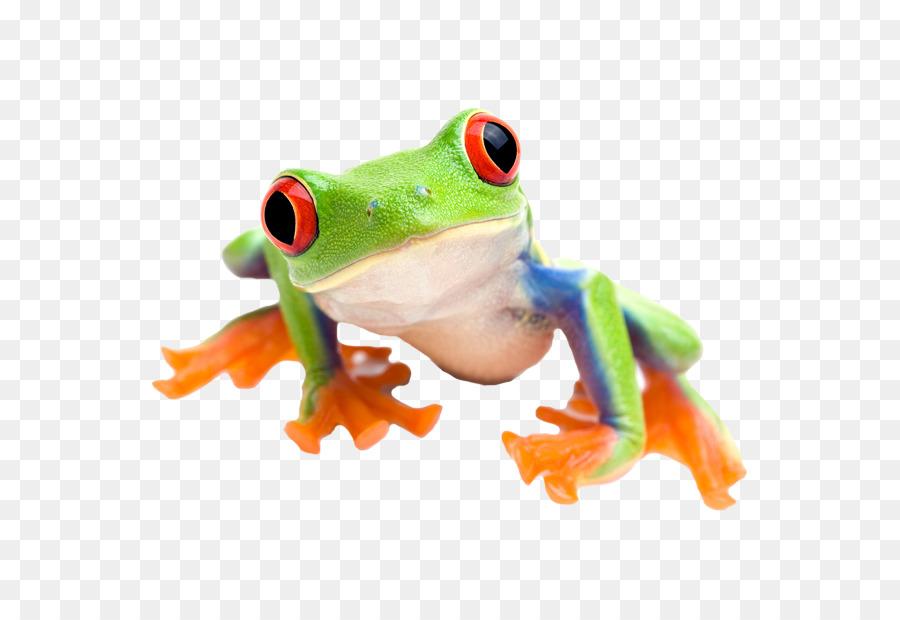 Red-eyed tree frog Comestible de la rana de la fotografía de Stock ...