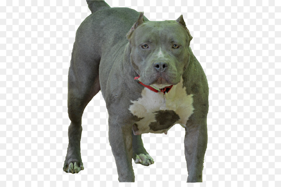 american pit bull terrier american staffordshire terrier dog breed