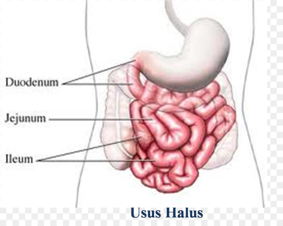 Intestino delgado intestino grueso tracto Gastrointestinal, Íleo la ...