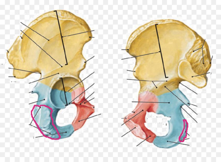 Anatomía humana hueso de la Cadera Inferior del pubis rama del Pubis ...