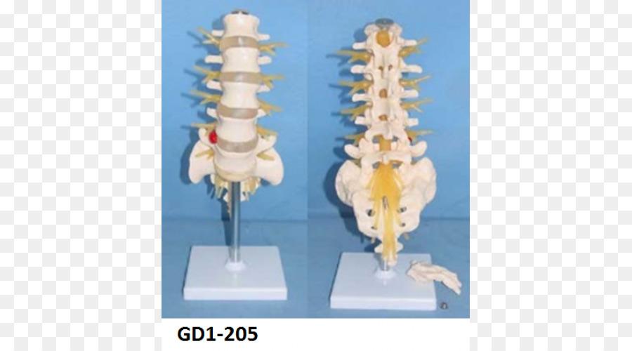 Cauda equina del nervio Espinal de la columna Vertebral, las ...
