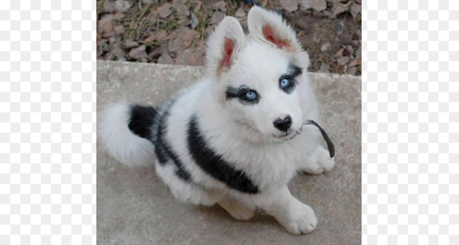 Husky Siberiano Chow Chow Alaskan Klee Kai Pomerania Cachorro
