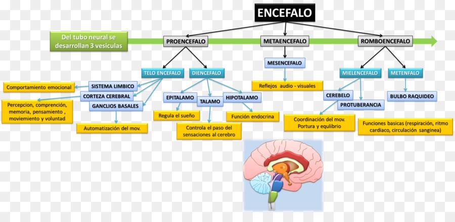 Agy midbrain diencephalon art beyin brain png download 1600753 agy midbrain diencephalon art beyin brain ccuart Gallery