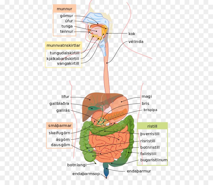 Sistema digestivo humano tracto Gastrointestinal Digestión Diagrama ...