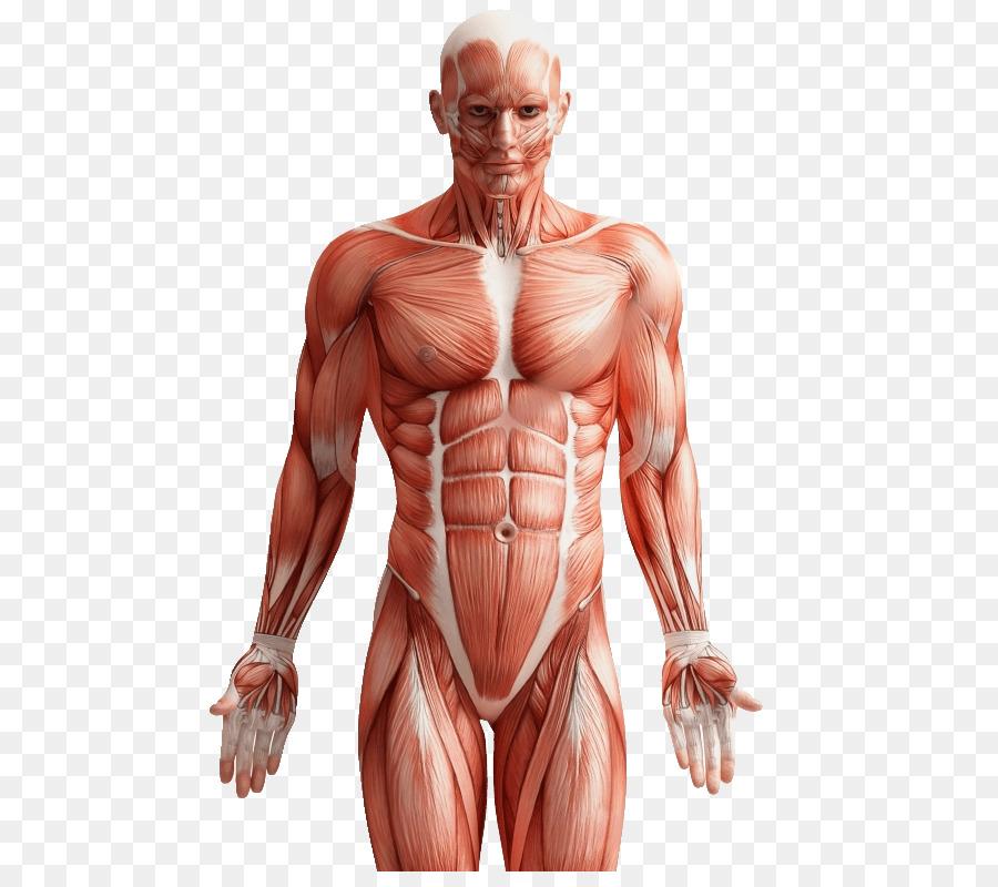 Groin pain Human body Back pain Human back - Anatomi png download ...