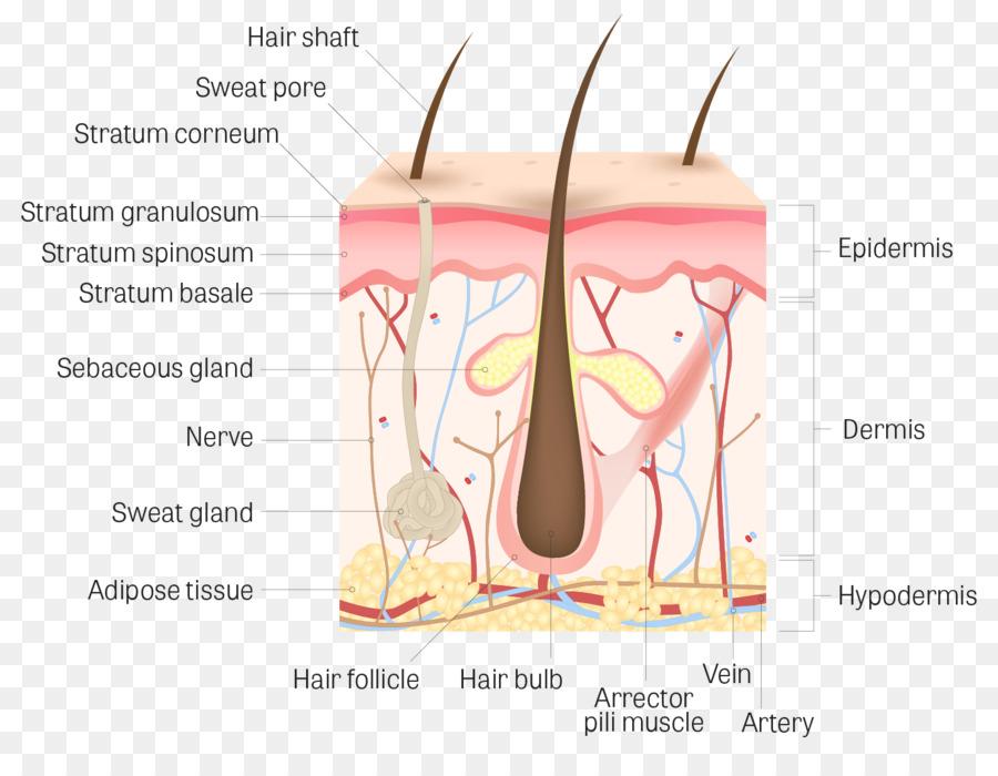 Human skin Dermis Human body Stratum corneum Anatomy - follicle png ...