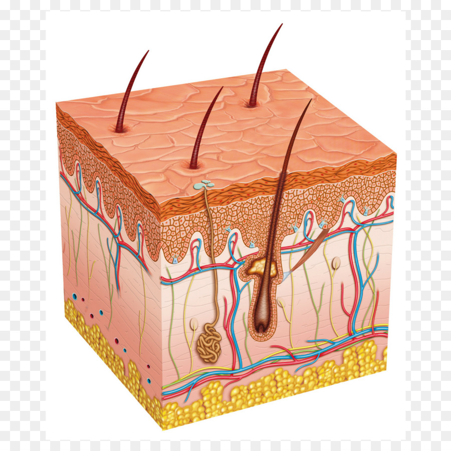 Human Skin Subcutaneous Tissue Biology Integumentary System