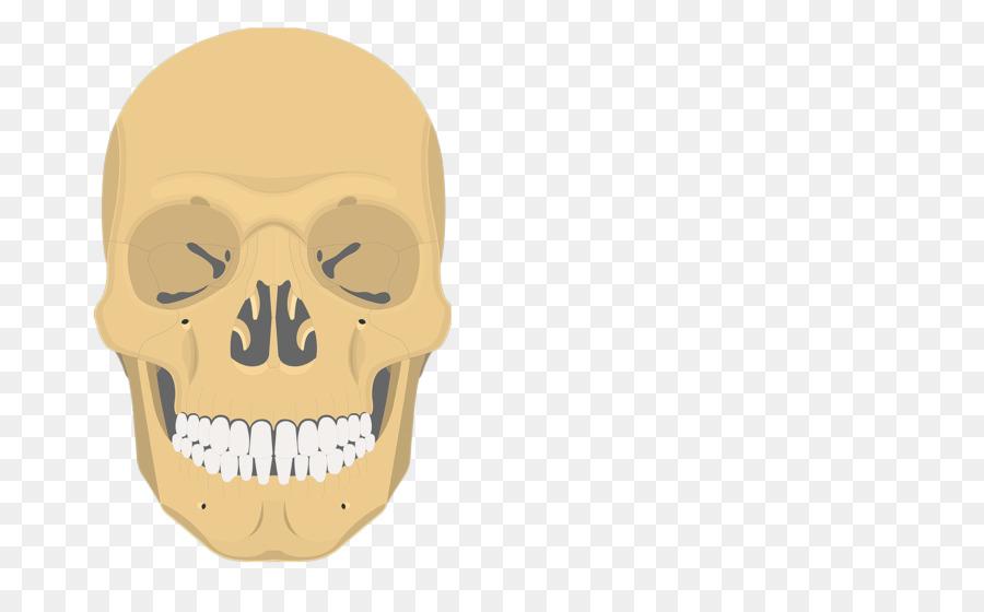 Inferior nasal concha Vomer Ethmoid bone Sphenoid bone - skull Bones ...