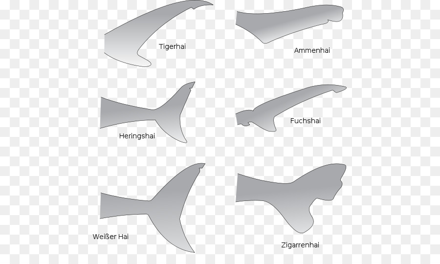 Shark anatomy Great white shark Fin Tail - Shark TAIL png download ...