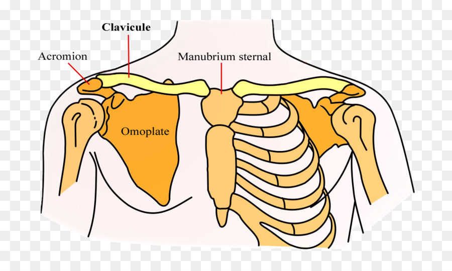 Clavícula, Escápula Hueso de la cintura escapular - Situación ...
