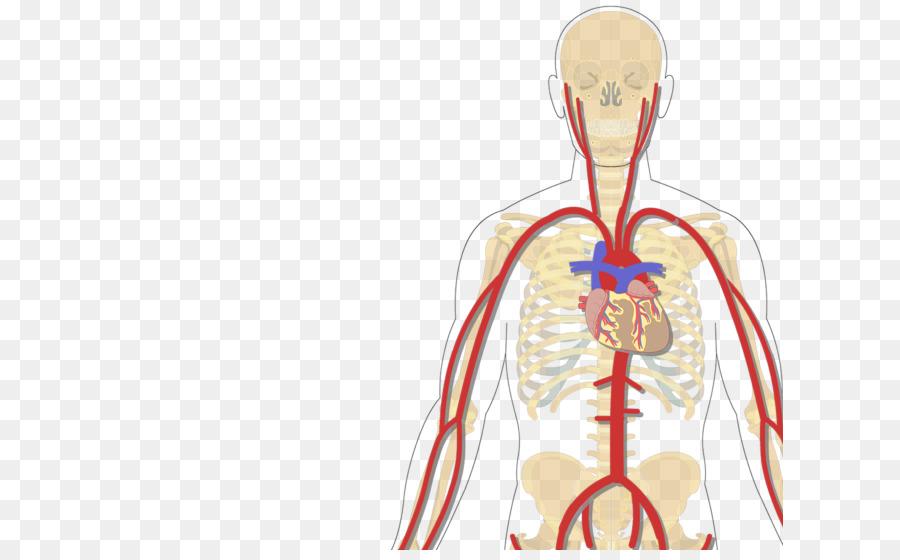 Cuerpo humano de la Vena cava Inferior de la arteria Subclavia ...