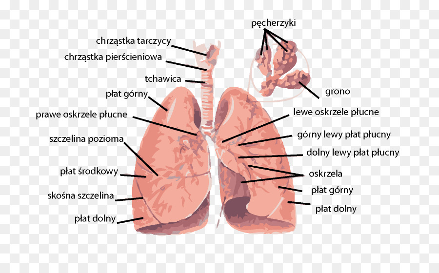 dissection of the respiratory system of Learn fetal pig respiratory system with free interactive flashcards choose from 500 different sets of fetal pig respiratory system flashcards on quizlet.