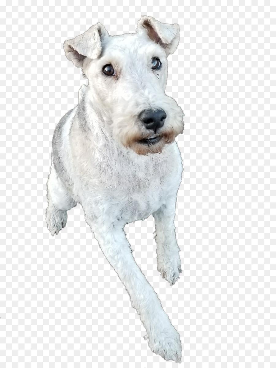 Wire Hair Fox Terrier Lakeland Terrier Dog breed La Grande ...