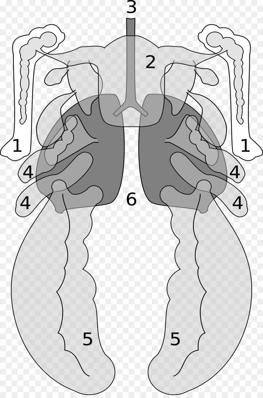 Bird anatomía Vertebrada de bolsa de Aire del Pulmón - Aves png ...