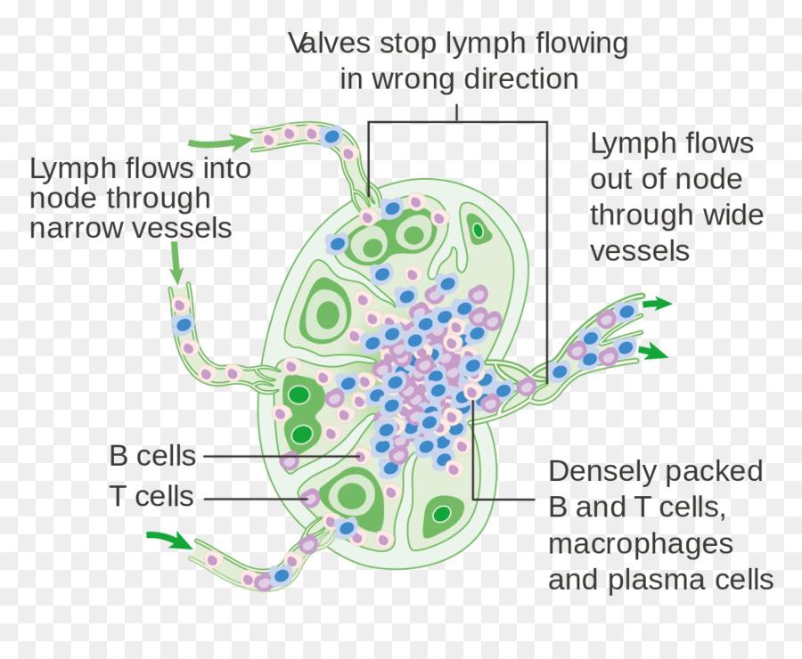 Ganglio linfático el sistema Linfático del cuerpo Humano Diagrama de ...