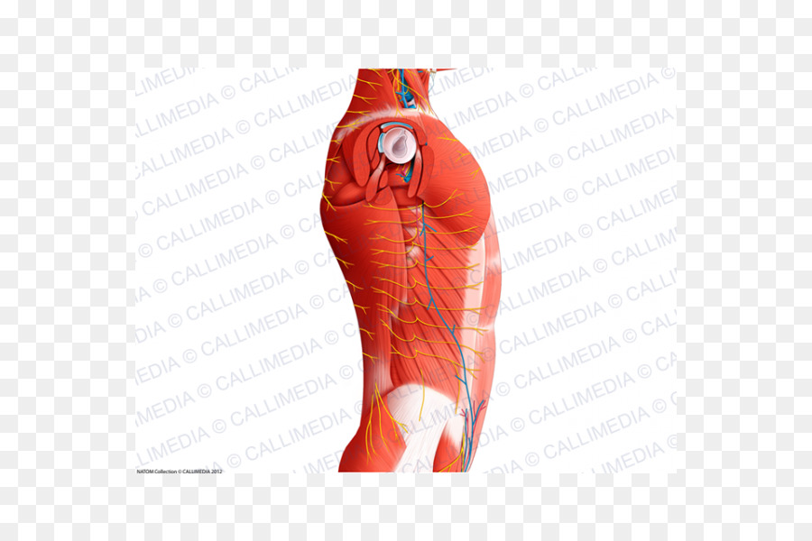 Hombro Cadera anatomía Humana Ligamentos de la Rodilla - abdomen ...