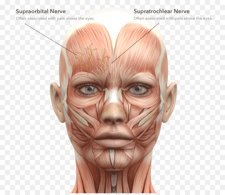 Facial Muscles Face Human Body Head And Neck Anatomy Face Png