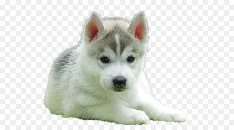 Siberian Husky Puppy Beagle English Toy Terrier Golden Retriever