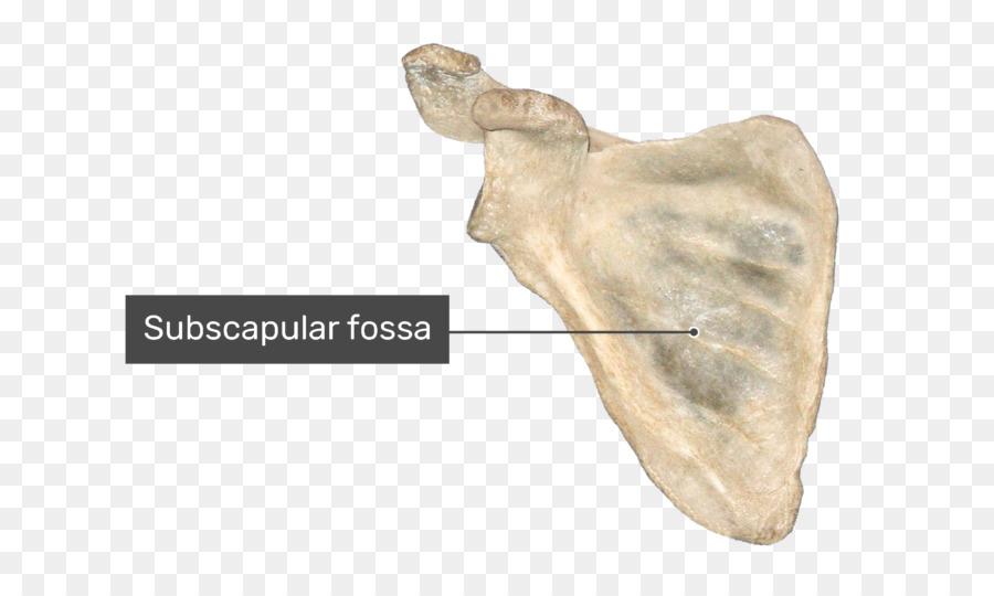 Scapula Bone Infraglenoid tubercle Anatomy Shoulder girdle - Fossa ...