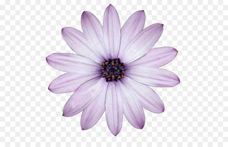 Flower desktop wallpaper common daisy purple white flower png flower desktop wallpaper common daisy purple white flower mightylinksfo