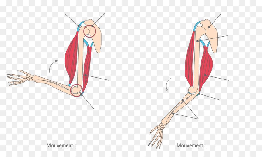 Dedo del músculo Esquelético de la Articulación del sistema Muscular ...