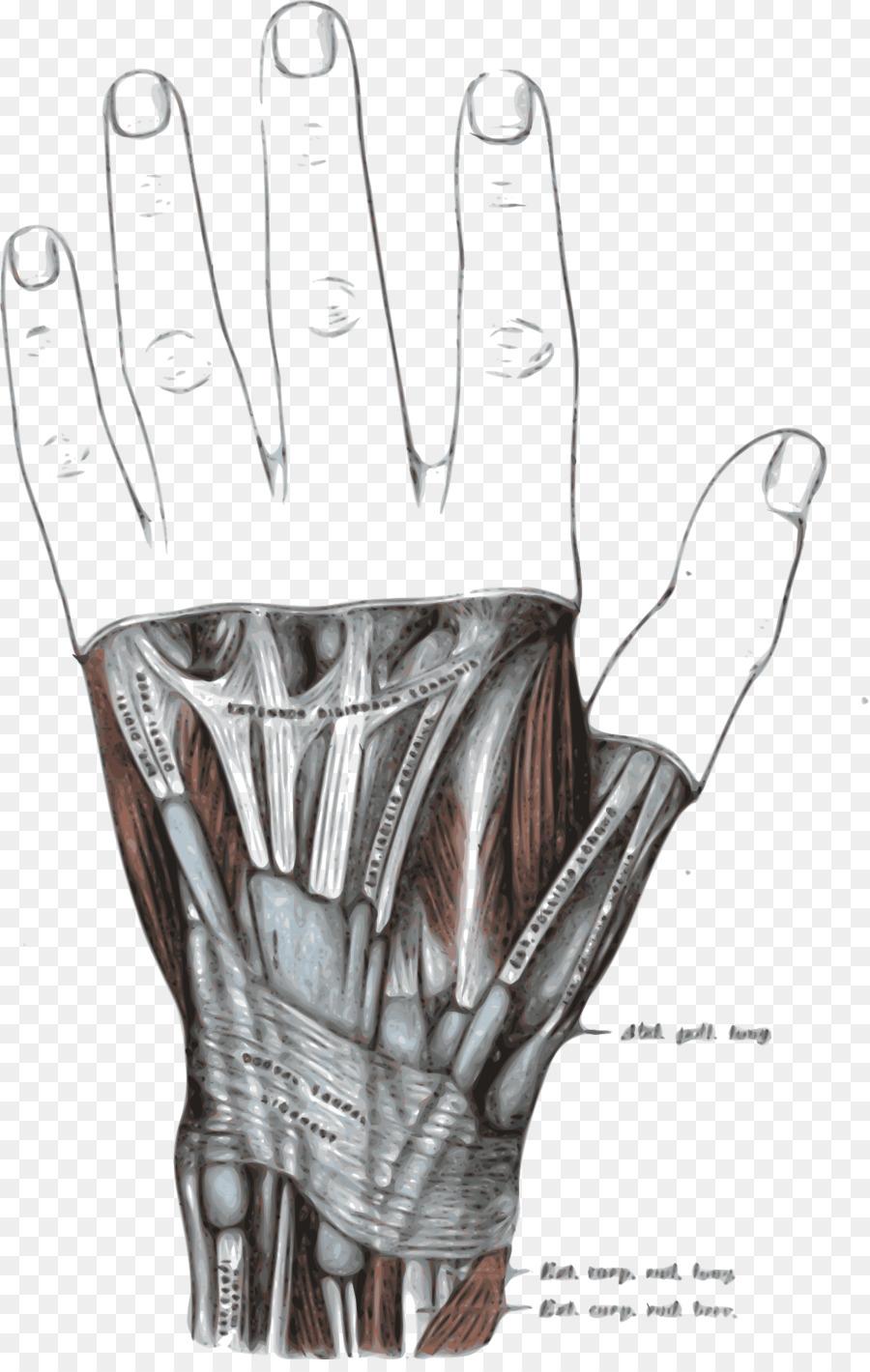 Retináculo Extensor de la mano del Extensor de los dedos músculo ...