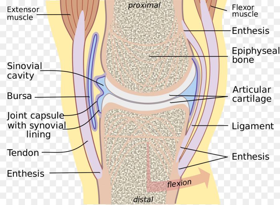 Synovial membrane Synovial joint Synovial fluid Synovial bursa ...