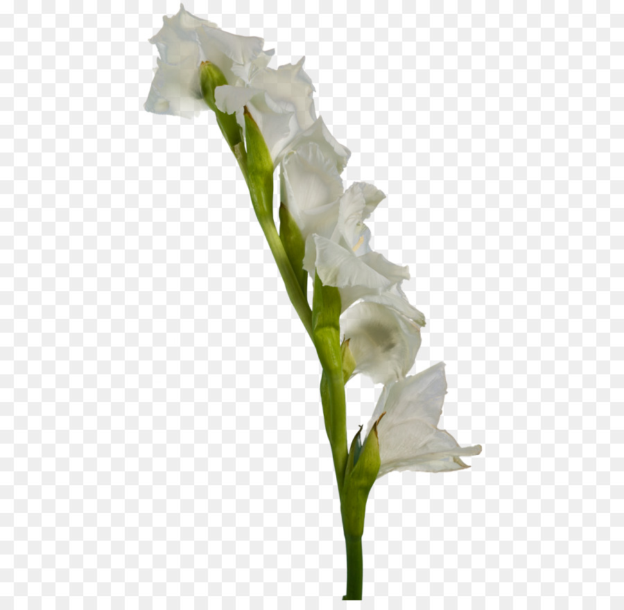 Gladiolus White Flower Clip Art Gladiolus Png Download 500866