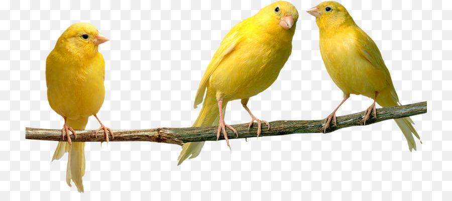 Inländische Kanarienvogel Vogel Papagei Gelb Kanarischen Finken