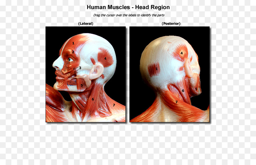 Nose Muscle Skull Head and neck anatomy Human body - nose png ...