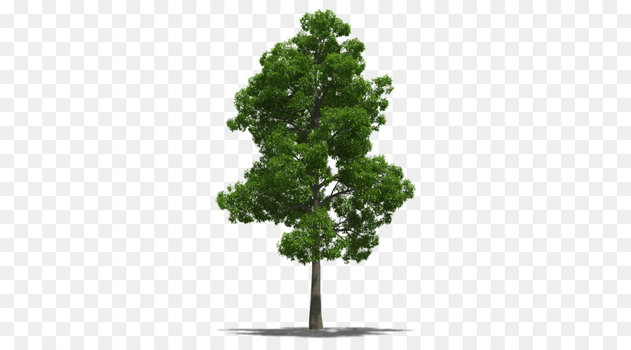 Jamaica National Symbol Talipariti Elatum Tree Tree Png Download