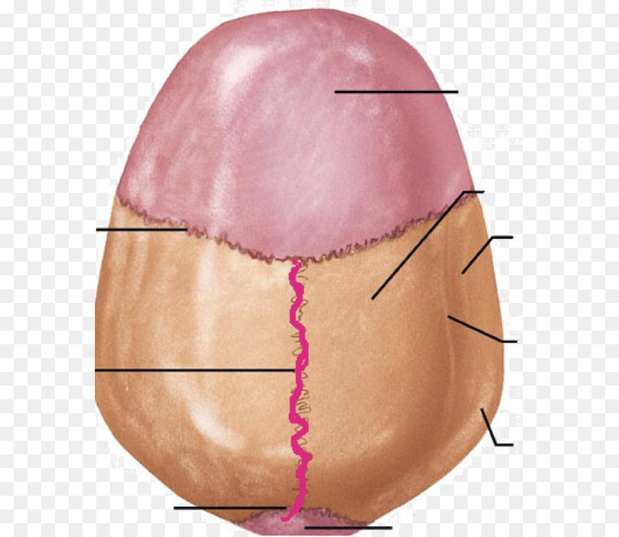 Cráneo cavidad Craneal sutura Sagital Occipitomastoid sutura sutura ...