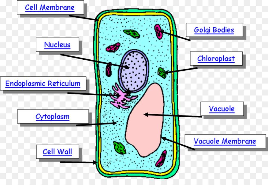 Célula de la planta Diagrama de cuerpo Humano - planta png dibujo ...