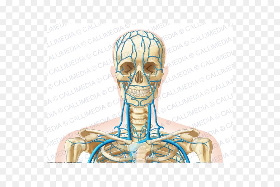 El Hueso del oído Humano anatomía de la Cabeza del esqueleto Humano ...