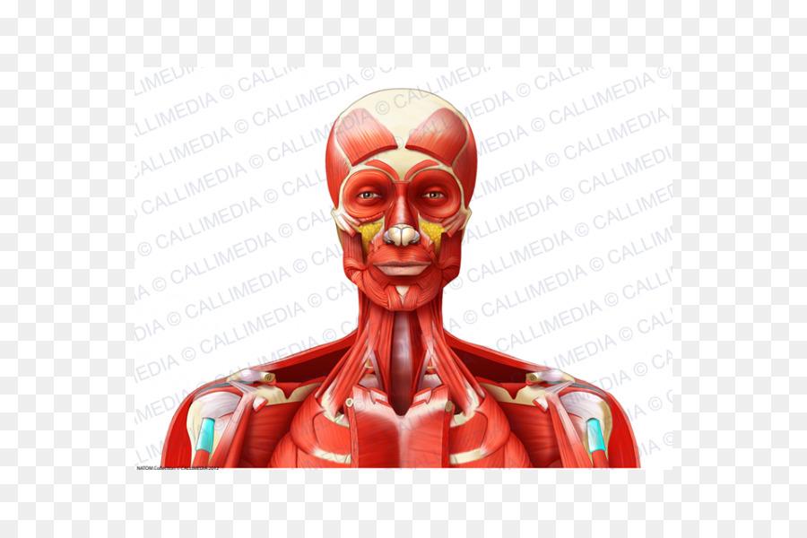 Músculos de la Cabeza y cuello anatomía de Cabeza y cuello anatomía ...