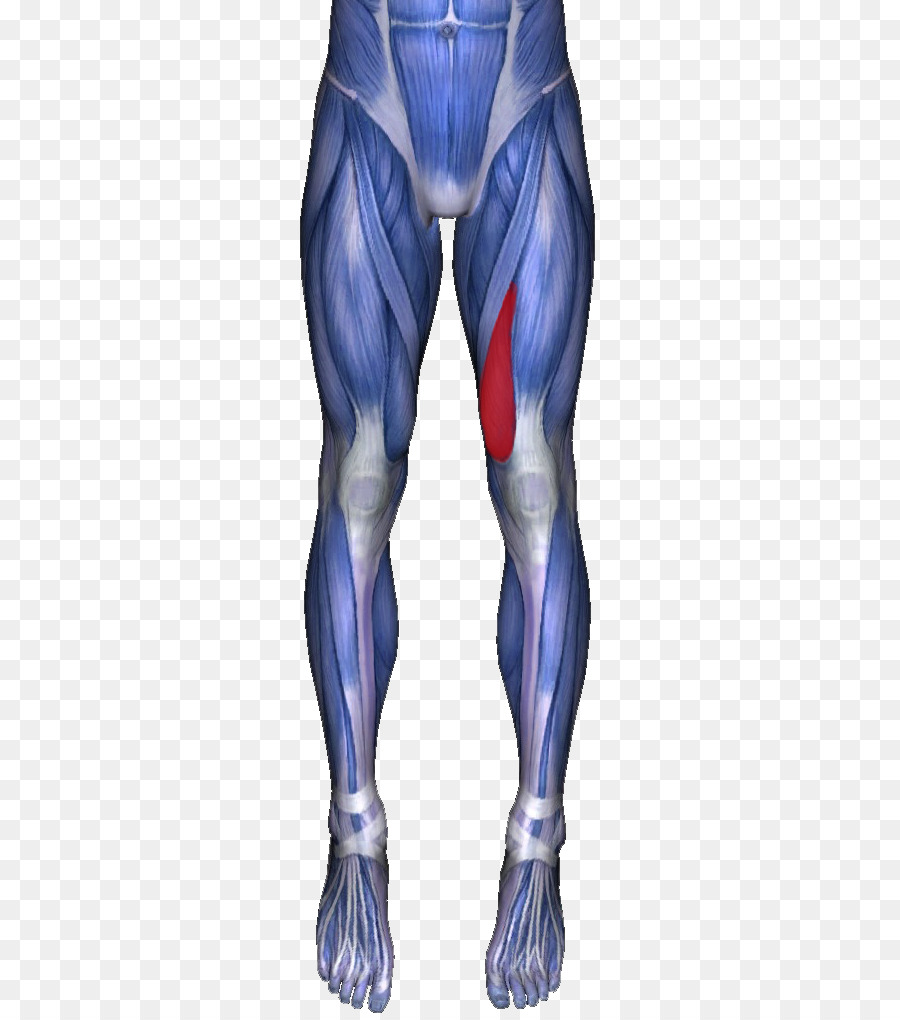 Adductor longus muscle Adductor muscles of the hip Adductor magnus ...
