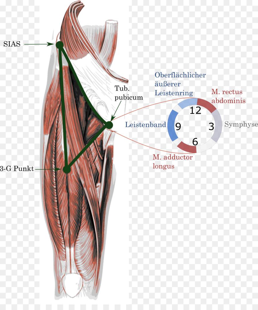 Groin Pain Adduktor Inguinal Ligament Pubis Kante Png Download