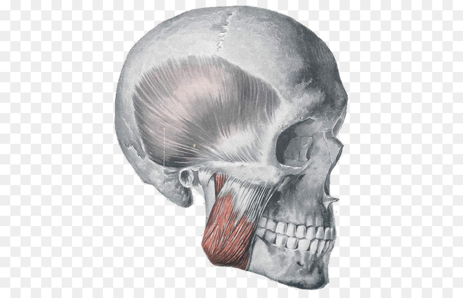 Masseter muscle Anatomy Orbicularis oris muscle Muscles of ...