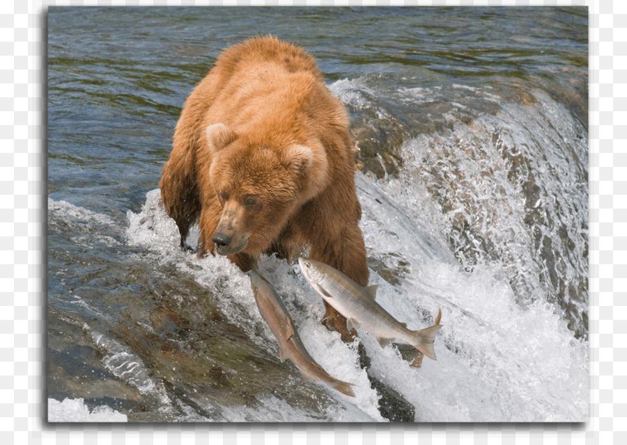 I Am A Grizzly Bear Brooks Falls Desktop Wallpaper