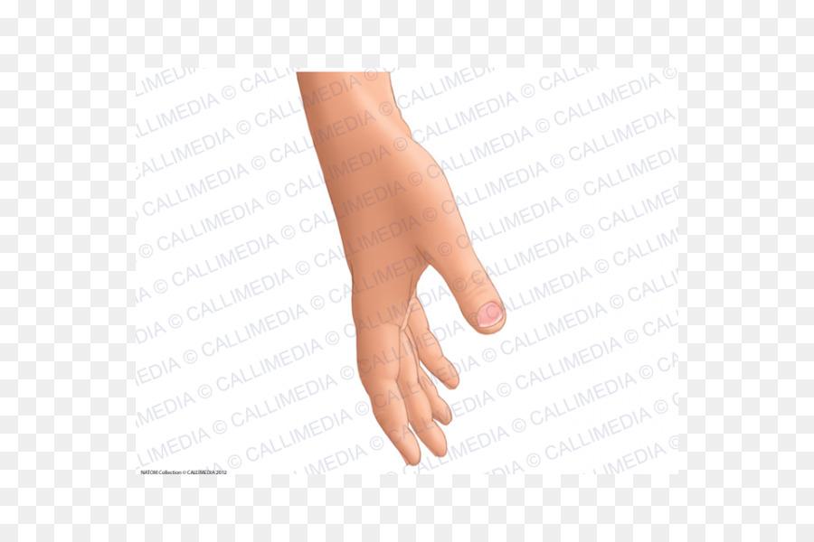 Thumb Upper Limb Nail Anatomy Hand Nail Png Download 600600