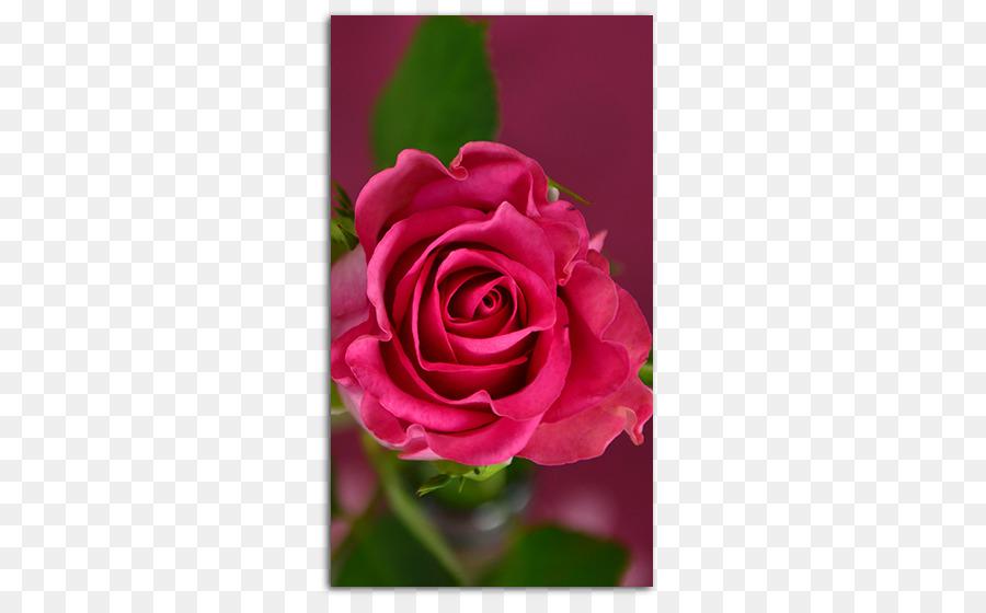 htc desire hd desktop wallpaper rose high definition television