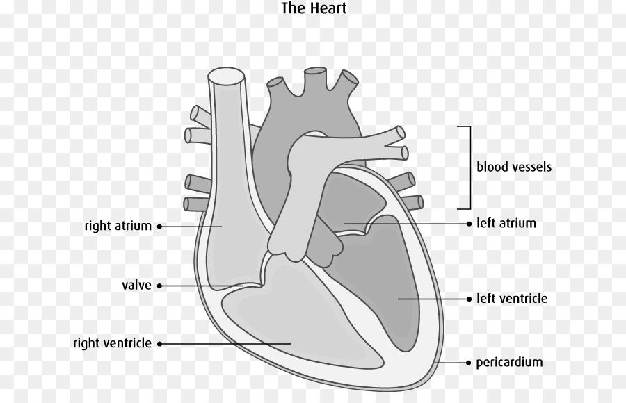 Interventricular septum Heart Anatomy Diagram Cardiovascular disease ...